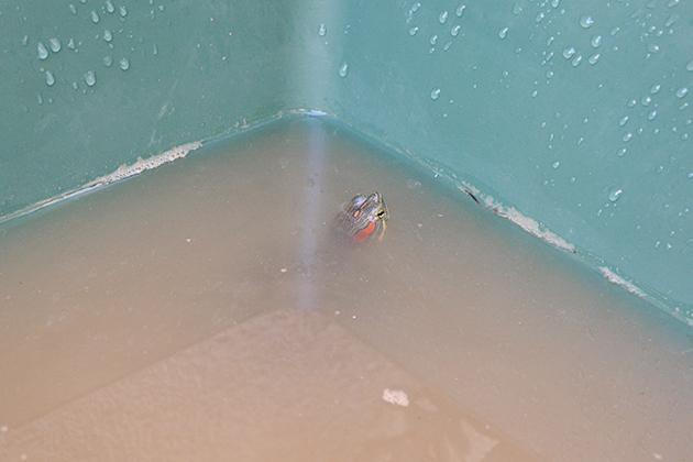 ミドリガメの室外飼育、ビオトープと越冬「ミドリガメのビオトープ」