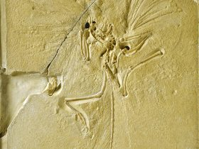 Main slab of rare fossil 'dinobird' and earliest bird found in the Upper Jurassic of Solenhofen in Germany, now on display at The Natural History Museum, London.  Known also as the London Archaeopteryx.