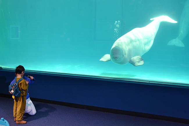 2018年3月16日(金)、鴨川シーワールドのベルーガ展示施設「マリンシアター」がリニューアルオープン!子供から大人まで楽しめる進化したベルーガ パフォーマンス、シャチのパフォーマンスは必見!