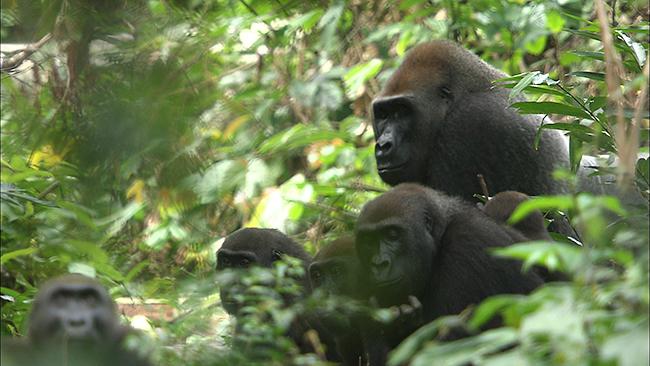 NHK総合テレビの子供たちに人気動物番組「ダーウィンが来た! 生きもの新伝説」が初の映画化!『劇場版 ダーウィンが来た! アフリカ新伝説』が2019年1月18日(金)より全国公開! アフリカで力強く生きるライオン、ゴリラの3つの家族の物語を、貴重な映像とともに大スクリーンで楽しめます。ナレーションは女優の葵わかなさん!
