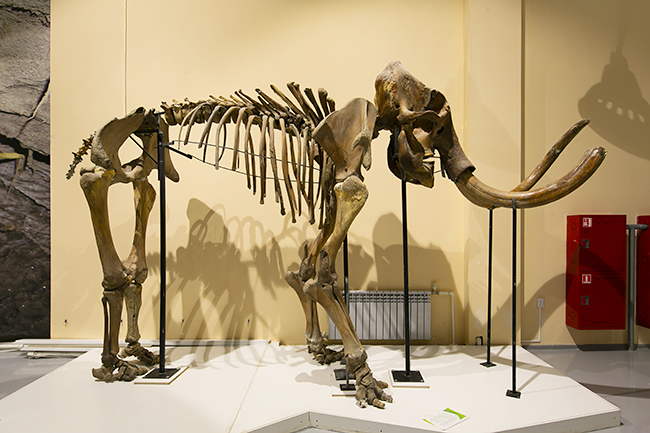 "From June 7 (Fri) to November 4 (Mon, Taki), 2019, the ""Mammos Exhibition"" will be held at the Museum of Emerging Science and Innovation! The world premiere of frozen specimens of a large number of newly discovered archaeological animals including ""Yukagill mammoth"" which was exhibited at the 2005 World Exposition ""Aichi Earth Expo"" and was enthusiastic 7 million people! We talked with Mr. Yoichi Kondo, director of Lake Nojiri Naumanzou Museum, who oversaw paleontological biology about the highlights of the ""Mammoth Exhibition"", the cause of the mammoth extinction, and the resurgence of the mammoth! ""Mammoth exhibition"" is an exhibition that you want to see together with your children and discuss them in various ways!"