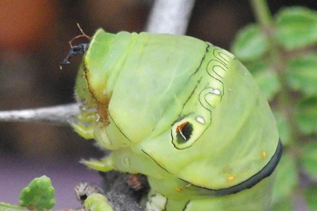 アゲハチョウの幼虫が蛹になる直前に脱走していなくなる、またスズメに食べられてしまうことが頻発。そこで家庭菜園用の不織布でガードしてみました。アゲハチョウの幼虫の羽化を楽しもう!臭覚が出たまま体内に格納されず、臭覚が干からびてしまった幼虫の様子も。
