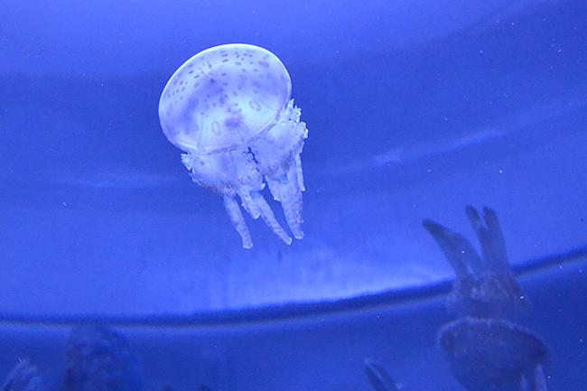 """サンシャイン水族館の大型リニューアル第3弾、""""クラゲ"""" をメインにした新エリア「海月空感(くらげくうかん)」が2020年7月9日(木)にオープン!最大の見どころは国内最大級、横幅約14m「クラゲパノラマ」水槽!疲れた体と心に安らぎを与えてくれる癒しの空間が誕生!"""