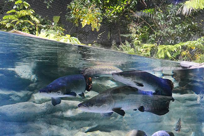 多摩川、アジア、アマゾン川など世界の水辺を再現し、そこに生きる生き物とともに水辺のオアシスを体感できる「カワスイ 川崎水族館」が2020年7月17日(金)川崎ルフロンにオープン!「カワスイ 川崎水族館」に行ってきた!「カワスイ 川崎水族館」体験レポート!