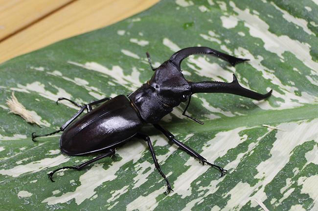 板橋区立熱帯環境植物館では2021年8月29日(日)まで「熱帯の昆虫と食虫植物」を開催!ヘラクレスオオカブトの展示をはじめ、東南アジアのカブトムシやクワガタとの触れあい、日本ではあまり見ることができない昆虫や食虫植物を間近で観察できます。しかも夏休み期間、中学生以下は入館無料!
